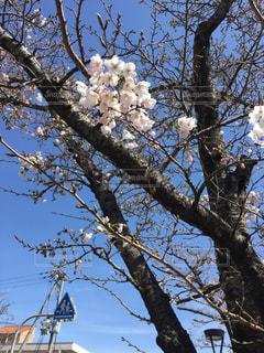 早咲きの桜の写真・画像素材[2225519]