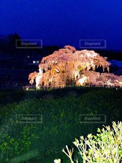 三春の滝桜のライトアップの写真・画像素材[2237115]