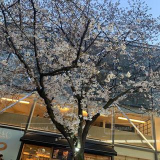 桜の満開の写真・画像素材[2225765]