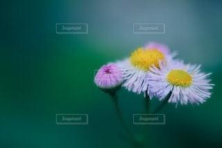 ヒメジョオンの花の写真・画像素材[2227236]