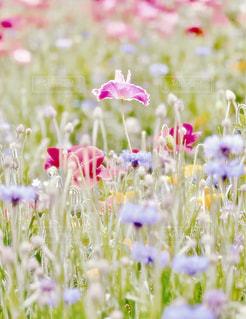 パステルカラーの花畑の写真・画像素材[2229119]