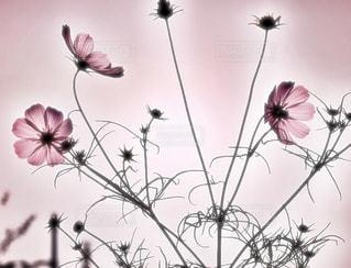 秋桜の花姿の写真・画像素材[2246830]