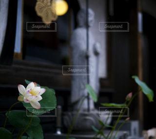 雨に濡れる蓮の花の写真・画像素材[2281765]