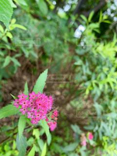 通りの横で力強く咲くピンクの花の写真・画像素材[2279703]