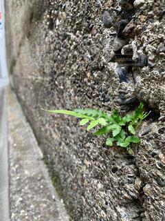 コンクリートの隙間から顔をのぞかせる植物の写真・画像素材[2279748]
