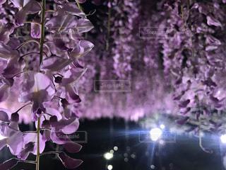 紫色の花の群の写真・画像素材[2228945]