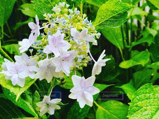 紫陽花の写真・画像素材[2230485]