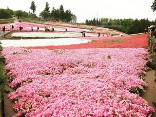 野原のピンクの花の上の列車の写真・画像素材[2140508]