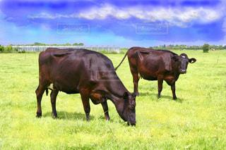 緑豊かな牧場に放牧された牛の写真・画像素材[2478160]