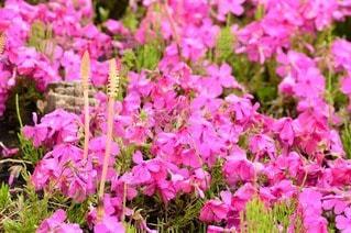 お花畑の写真・画像素材[95374]