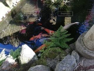 色鮮やかな鯉の写真・画像素材[2231441]