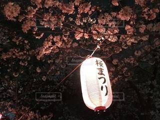 桜まつりの提灯の灯りの写真・画像素材[2281047]