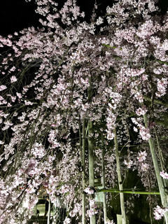 滝のような枝垂れ桜の写真・画像素材[2281055]