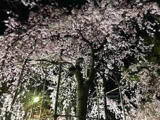 満開のしだれ桜の写真・画像素材[2281057]