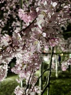 枝垂れ桜クローズアップの写真・画像素材[2281058]