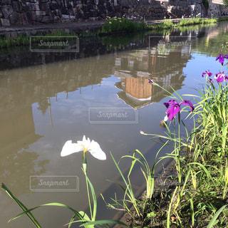 水辺の菖蒲の写真・画像素材[2248325]