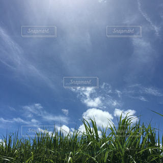 きび畑の写真・画像素材[2233015]