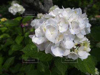 紫陽花の写真・画像素材[2259077]