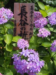 紫陽花の写真・画像素材[2259138]