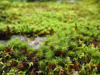 京都の苔の写真・画像素材[2263702]