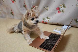 パソコンをオモチャにする犬 ( おすわり )の写真・画像素材[4105875]