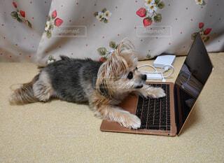 パソコンをオモチャにする犬 ( ふせ )の写真・画像素材[4105876]