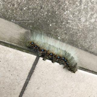 毛虫の写真・画像素材[2235657]