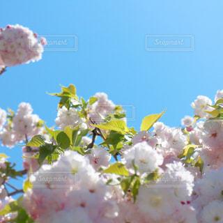 さくらの季節の写真・画像素材[2236055]