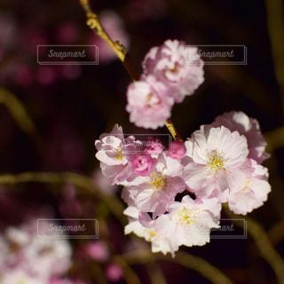 夜桜🌸の写真・画像素材[2243437]
