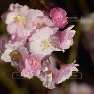 夜桜🌸の写真・画像素材[2243438]
