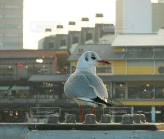 カモメ  鳥素材  動物素材の写真・画像素材[2241616]