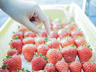 大量のイチゴとイチゴを摘む指の写真・画像素材[2316553]