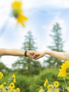 ひまわり畑で手を繋ぐカップルの写真・画像素材[2324439]