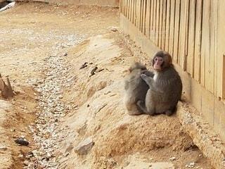 猿の兄弟の写真・画像素材[2239592]