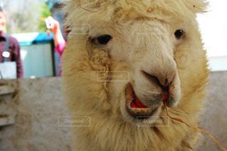 ふわふわ 面白い顔のアルパカさんの写真・画像素材[2239918]