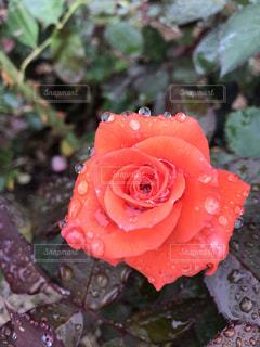 レッドデビルという名前の薔薇ですの写真・画像素材[2275349]