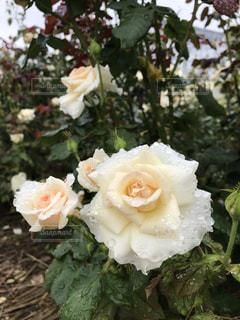 クリーム色の薔薇の写真・画像素材[2275369]