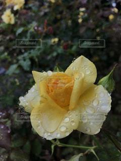 黄色の薔薇の写真・画像素材[2275548]