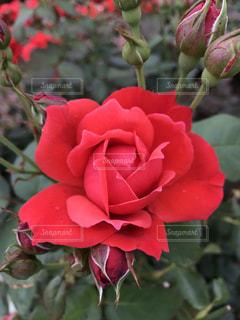 赤い薔薇の写真・画像素材[2285290]
