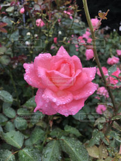 梅雨の晴れ間に咲く薔薇の写真・画像素材[2291515]