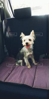 椅子に座っている小さな茶色と白い犬の写真・画像素材[2447578]
