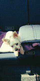 椅子に座っている小さな茶色と白い犬の写真・画像素材[2447838]