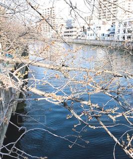 早春の桜の写真・画像素材[3047103]