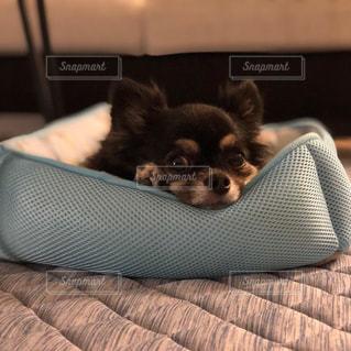ベッドに横たわる犬の写真・画像素材[2301595]