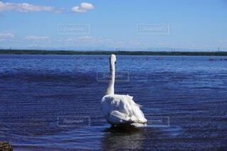 水の体の隣にある白鳥の写真・画像素材[4829935]