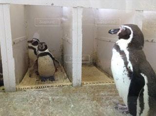 ペンギン - No.113775