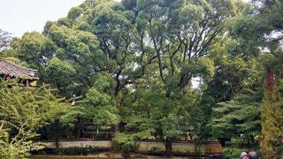 京都 青蓮院門跡 大楠の写真・画像素材[2905917]