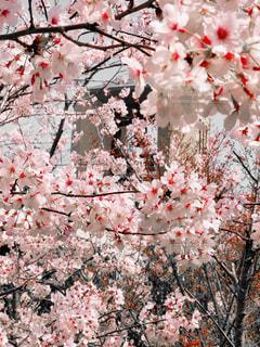 さくらピンクの写真・画像素材[2247352]