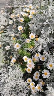 白いマーガレットの花の写真・画像素材[4586097]