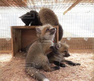 狐の赤ちゃんの写真・画像素材[2473256]